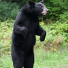 Nervous Black Bear standing on her hind legs in Ontario, Canada.