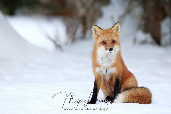 Red Fox in Algonquin Provincial Park