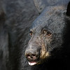 Black Bear Sow in Ontario, Canada
