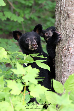Wild Black Bear Cubs in Ontario, Canada.