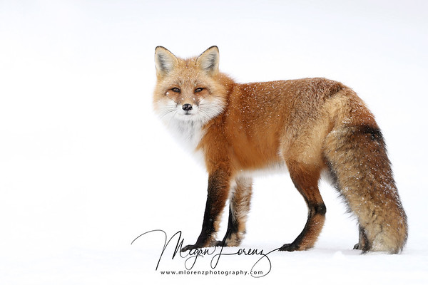 Red Fox after a snowfall in Algonquin Provincial Park in Ontario, Canada.