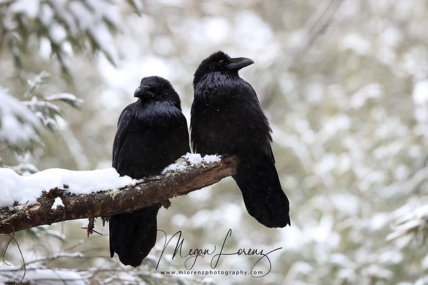 Mated Pair of Ravens in Algonquin Provincial Park in Ontario, Canada
