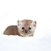 American Marten hiding in the snow in Algonquin Provincial Park in Ontario, Canada