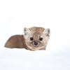American Marten hiding in the snow in Algonquin Provincial Park in Ontario, Canada