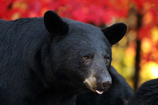 Closeup of a wild Black Bear Sow in Ontario, Canada.