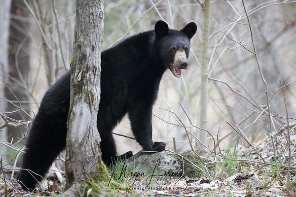 Wild Black Bear Yearling in Ontario, Canada
