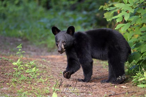 Wild Black Bear Cubs walking across a path in Ontario, Canada.