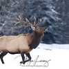 Wild Bull Elk walking through snow in Bancroft, Ontario.  (reintroduced species).  The Ontario elk restoration program was conducted by the Ministry of Natural Resources from 1998-2005. During the program, 460 animals from Elk Island National Park, near Edmonton, Alberta then transferred to Ontario. They were released gradually in four regions of the province with habitats deemed suitable for elk reintroduction; these areas were Nipissing/French River, Bancroft/North Hastings county, Lake of the Woods, and Lake Huron North Shore. More than 90% of these elk were radio collared so they could be closely monitored following their release using radiotelemetry.