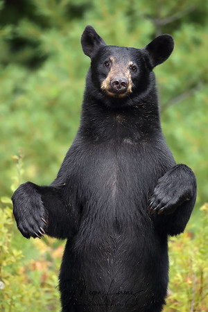 Two-year-old Black Bear standing on her back legs in Ontario, Canada.