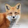 Red Fox in Algonquin Provincial Park in Ontario, Canada