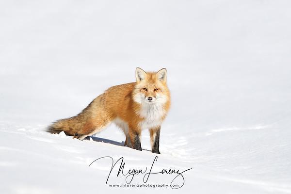 Male Red Fox in Algonquin Provincial Park, Ontario, Canada.