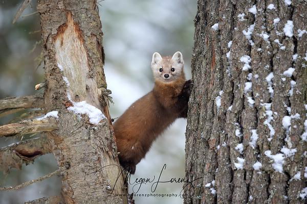 Pine Marten in Algonquin Provincial Park