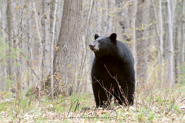 Male Black Bear in Ontario, Canada.