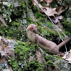 The stoat is of the mustelid family, larger than the least weasel and considered particularly aggressive. Stoats, however, weigh less than 260 grams (9 oz), which gives them impressive agility and speed to add to their ferocity. In fact, stoats are capable of taking on and defeating prey twenty times heavier than them.