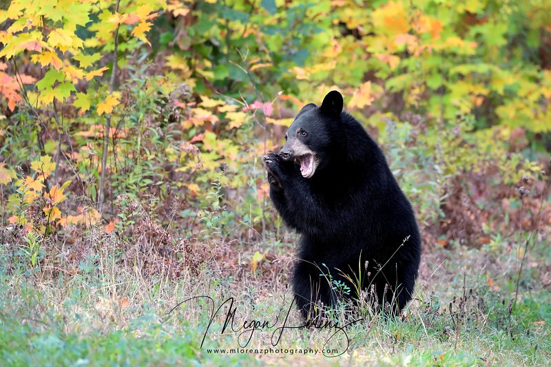 Black Bear Cub playing in Ontario, Canada
