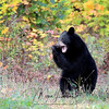 Black Bear Cub playing in Ontario, Canada