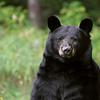 Wild Black Bear Sow in Ontario.  Photo taken September 30th 2021.