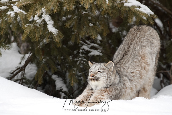 Wild Canada Lynx stretching in Northern Ontario, Canada.