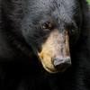 Black Bear Sow in Ontario, Canada.