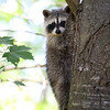Raccoon Kit in Ontario, Canada