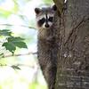 Raccoon Kit in Ontario, Canada