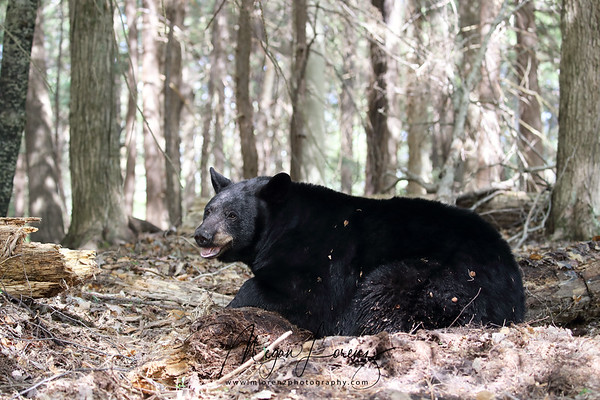 Wild Black Bear Sow in Ontario, Canada.