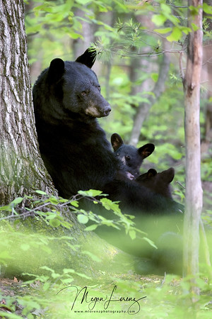 Black Bear Sow nursing her cubs in Ontario, Canada.