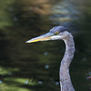 Great Blue Heron fishing at a bridge on Opeongo Road in Algonquin Provincial Park