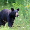 Yearling Black Bear Male (Wild) in Ontario, Canada