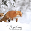 Pair of Red Fox in Algonquin Provincial Park in Ontario, Canada