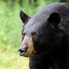Scared Black Bear in Ontario, Canada