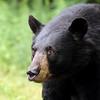 Scared Black Bear in Ontario, Canada