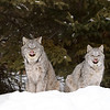 Wild Canada Lynx and her kitten sticking their tongues out in Northern Ontario, Canada.