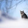 Wild Canada Lynx in Northern Ontario, Canada