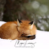 Red Fox trying to keep warm on a cold winter day in Algonquin Provincial Park in Ontario, Canada.