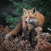 Red Fox in Algonquin Provincial Park in Ontario, Canada.