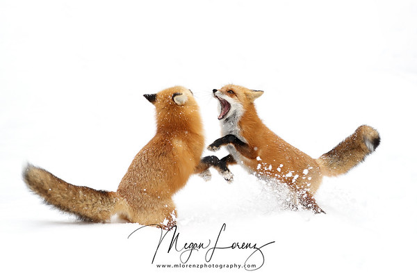 Red Foxes interacting in Algonquin Provincial Park in Ontario, Canada.