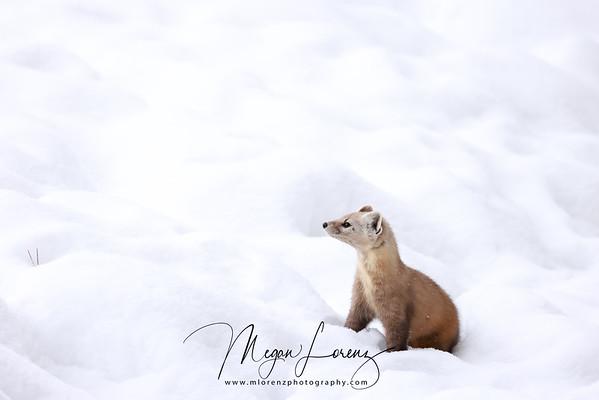 American Marten in Algonquin Provincial Park, Ontario, Canada.
