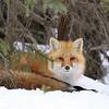 Red Fox in Algonquin Provincial Park, Ontario.