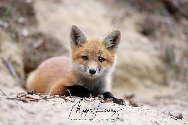 Curious Fox Kit in Algonquin Provincial Park