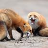 Fox Vixen & her Kit in Algonquin Provincial Park, Ontario, Canada