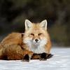 Red Fox resting in the snow in Algonquin Provincial Park.