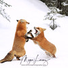 Red Fox interaction during breeding time in Algonquin Provincial Park, Ontario, Canada.