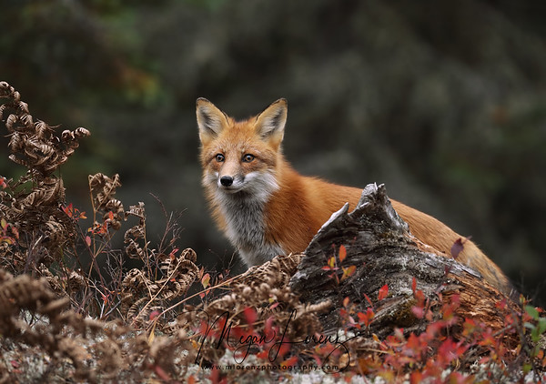 Young Red Fox in Algonquin Provincial Park