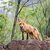 Red Fox in Algonquin Provincial Park in Ontario, Canada