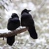 Mated Pair of Ravens in Algonquin Provincial Park in Ontario, Canada