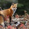 Wild Red Fox in Algonquin Provincial Park in Ontario, Canada
