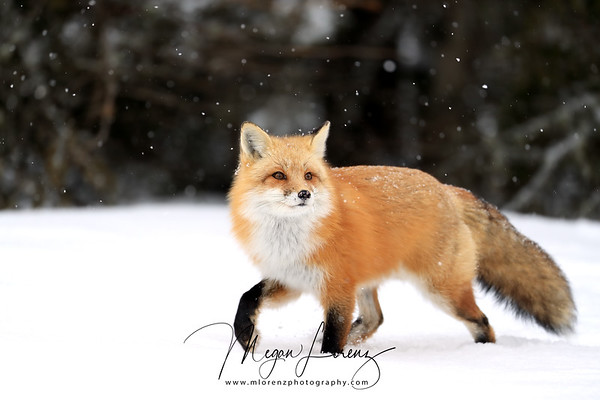 Red Fox running through the snow in Algonquin Provincial Park in Ontario, Canada