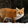 Female Red Fox in Algonquin Provincial Park, Ontario, Canada.