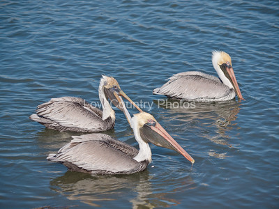 Pelicans being social at Huntington Beach State Park, SC